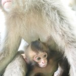 今日もお猿さん・・・赤ちゃん編①