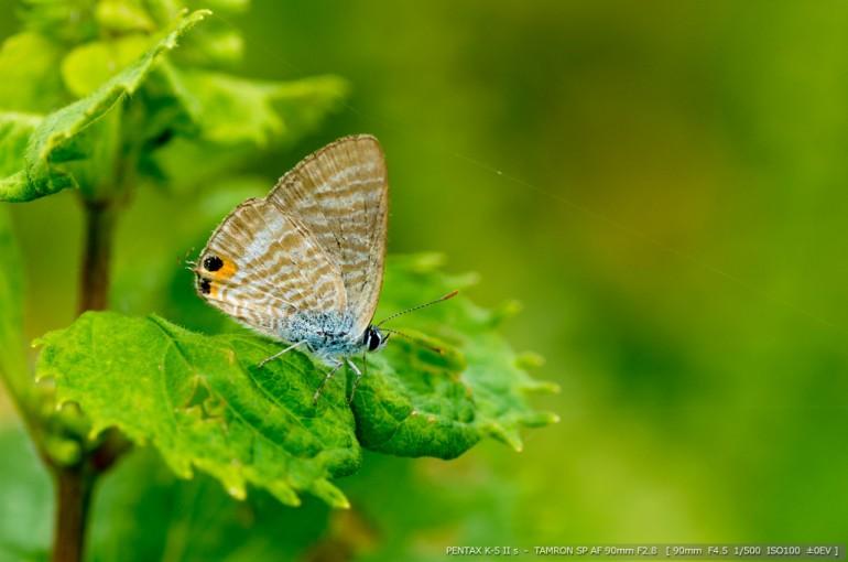 蝶 9付き 23
