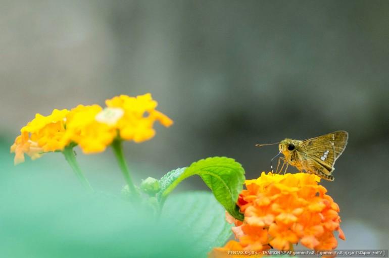 セセリ蝶②
