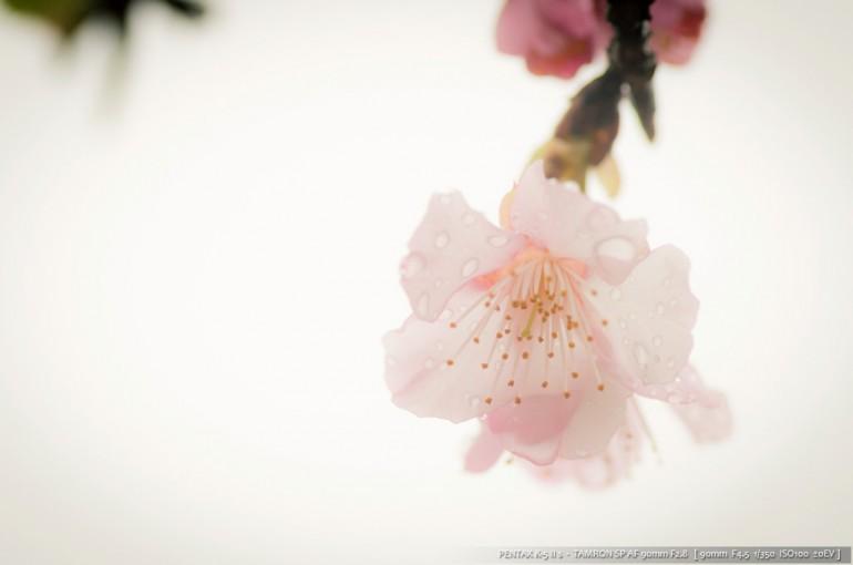 北郷の桜①