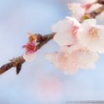 桜がちらほらと・・・