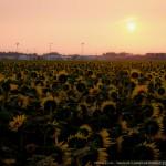 ヒマワリ畑の夜明け