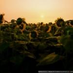 夜明けのヒマワリ畑