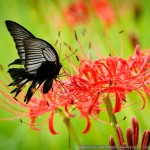 彼岸花とアゲハチョウ