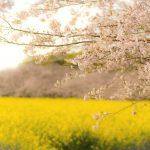 西都原の桜と菜の花