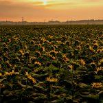 早朝のヒマワリ畑