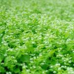 綾の蕎麦畑