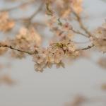 夕暮れ桜・・・